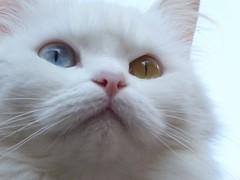 Hétérochromie parfaite (chriskatsie) Tags: heterochromie chat cat oeil eye vairon hnaks