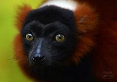 Something thoughtful (MaiGoede) Tags: lemuren lemuridae lemuriformes rotervari vareciarubra primaten primates feuchtnasenprimaten strepsirrhini gewhnlichemakis zoo zoomerlebniswelt madagaskar nikon portrait animals animal animalportrait tiere fauna nature natur natura natureza naturfoto tier outdoor