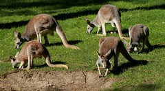 Kangaroo Mob (Emily K P) Tags: milwaukeecountyzoo zoo animal wildlife red kangaroo roo mob group five