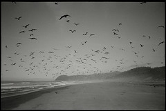 flock of seagulls (Garrett Meyers) Tags: garrettmeyers garrett meyers photographer reddingphotographer oregon coast beach ocean birds seaulls overhead flying float waves caps film filmshooter filmphotographer flock intotheflock hp5 ilford 35mm 35mmfilm yashica t1 yashicat1