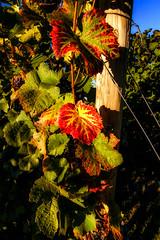 Weinsaison (MSPhotography-Art) Tags: autumn wein badenwrttemberg herbst nature wanderung germany wandern deutschland weinberge landschaft natur landscape badenwrttemberg