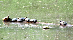 5 against 1 (livingglassart home of oddballs and oddities) Tags: flood may turtles basking