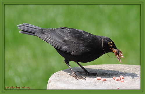 Blackbird gathering food for the family.