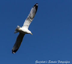 Ring-billed Gull - Flying (Guajoloto) Tags: canada montreal aves gaviota larusdelawarensis