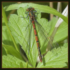 Large Red Damselfly (Full Moon Images) Tags: wood red macro nature insect wildlife large reserve national monks damselfly cambridgeshire nnr