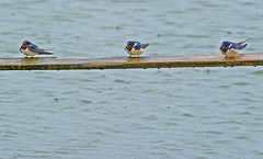 Swallows in the rain (Lluniau Clog) Tags: swallow barnswallow hirundorustica merseyside seaforth tc14eii 200400mmf4gvrii