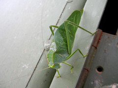 Green Katydid (leo_cpc) Tags: naturaleza macro verde green nature bug garden nikon jardin bugs camouflage coolpix campo grasshopper bichos bicho insecto saltamontes macrofotografia camuflaje nikonistas nikonians nikonista