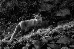 la guilla / the fox (Ferran.) Tags: nature animal animals catalonia fox catalunya zorro pyrenees pirineus ripolles guilla queralbs guineu