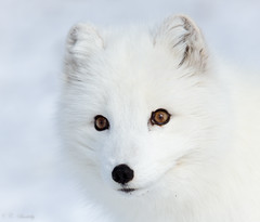 Portrait of an arctic fox (CecilieSonstebyPhotography) Tags: portrait white norway canon fur nose eyes ngc arctic npc fox endangered langedrag arcticfox alopexlagopus potofgold polarfox whitefox snowfox ef100400mmf4556lisusm
