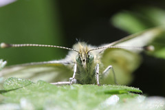 Cabbage White (Tom D1.) Tags: uk white macro green canon butterfly insect fly leaf spring cabbage usm 60mm efs 60d