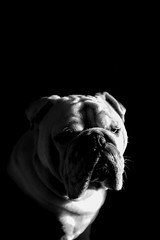 Handsome Hutch (Jon Gonzo) Tags: blackandwhite dogs canon bulldog englishbulldog 6d
