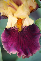 Bearded Iris Macro I (gtncats) Tags: flowers iris macro nature beardediris mygearandme photographyforrecreation