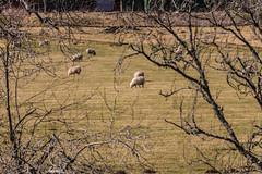 _DSC2906.jpg (glomacphotos) Tags: scotland countryside sheep meadow pasture lochoich