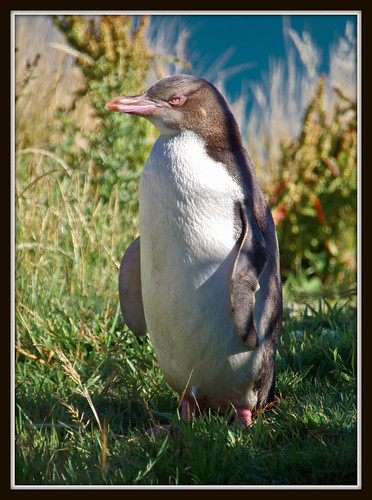 NZ - yellow eyed Pinguin