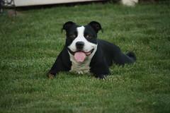 IMG_1133 (USMC60617) Tags: pitbull pitbullmix dog