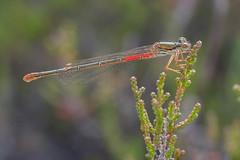 Female small red damselfly (typica) (gillian.pullinger) Tags: damselfly smallreddamselfly female typica thursleycommon surrey