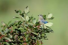 Young Bluebird-40799.jpg (Mully410 * Images) Tags: bluebird birdwatching birding fledgling bird naturecenter young park ramseycountypark birds easternbluebird tamaracknaturecenter