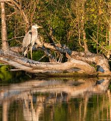 Pascal Bonnet-Heron cendre (shynyphotographe) Tags: hron hroncendr oiseaux etangs marais fort reflets faunes echassiers lumires couleurs vgtal animal