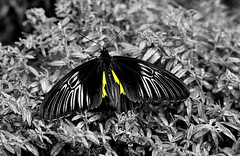 superhero wings (Sky_PA (Catching up slowly- On/Off)) Tags: superhero wings butterfly black yellow monochrome colors selectivecolor leaves texture amateurphotography animalplanet beautiful canon canoneos closeup t6i rebelt6i efs55250mmf456isstm depthoffield darkness hershey pennsylvania inspiredbylove insect lightandshadow nature plants summer vegetation