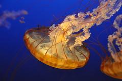 A Long Way From Home (Funkomaticphototron) Tags: coryfunk omaha zoo sea aquatic blue yellow weatcoastseanettle jellyfish floating animal