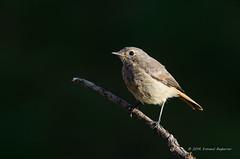 Redstart (Esmaeel Bagherian) Tags: redstart         bird birds birdsofiran birdwatching esmaeelbagherian 2016 1395  tamron tamron150600 nikond7000 nikon