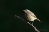 Redstart (Esmaeel Bagherian) Tags: redstart پرندگان پرندگانایران اسماعیلباقریان حیاتوحش حیاتوحشایران پرندهنگری پرنده پرندگانهزارمسجد bird birds birdsofiran birdwatching esmaeelbagherian 2016 1395 دمسرخ tamron tamron150600 nikond7000 nikon