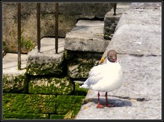 Galway steps to the river (Maewynia) Tags: celtica2016 galway gull steps river green brownheadedgull