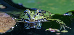 Posing for a portrait (pe_ha45) Tags: pond teich frog frosch ra rana grenouille