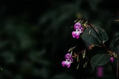 autumn (Jonas Tana) Tags: bokeh flowers flower dof silky smooth 85mm 18 sigma canon 1dsmkiii