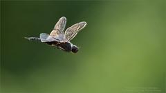 Dragonfly in Flight (Raymond J Barlow) Tags: dragonfly nature workshops raymondbarlow ontario canada phototours outdoor