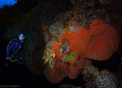 Little Cayman (jcl8888) Tags: coral reef little cayman nikon d7200 tokina 1017mm sponge liveaboard aggressor fleet diver scuba orange