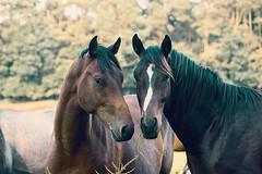 Colts II (feldweg) Tags: horses pferde cavallo caballo koni hest cheval cheveaux wamckow mecklenburg colt