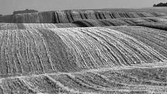 Waves on the ground - Wellen an Land (ralfkai41) Tags: felder monochrom nature bw outdoor structures natur blackwhite agriculture schwarzweis landwortschaft sw landschaft fields struktur waves wwellen klandscape