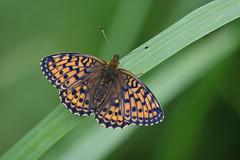 D71_2433A (vkalivoda) Tags: motl butterfly schmetterling insect macro depthoffield bokeh serene makro perleovec perleoveckopivov brenthisino perloveckrvavcov lessermarbledfritillary mdessperlmutterfalter luhatpik perladaeuropea engperlemorsommerfugl maedesuessperlmutterfalter laurelmenor nacrdelasanguisorbe konarinarenac gelsvasisperlinukas rtigyngyhz purperstreepparelmoervlinder engperlemorvinge dostojkaino inovasedefica angervohopeatpl lggrsprlemorfjril kkbrentis