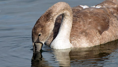 On the Water (kaprysnamorela) Tags: swan cygnet ontario oakville outside ontariobirds lake bird waterbird