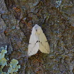 Buff Ermine (female) / Ecaille Livre (Dr Wood's Wildlife Photos) Tags: buffermine spilosomalutea ecaillelivre gelberfleckleibbr gultigerspinner spilarctialuteum arctiidae moth 2061