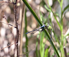 Yummy! -- Western Pondhawk Dragonfly -- Female With Prey (Erythemis collocata); Albuquerque, NM, Tingley Beach Park [Lou Feltz] (deserttoad) Tags: nature newmexico animal insect fauna dragonfly pond behavior mountain