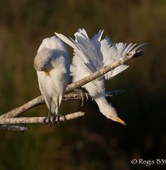 Sur le dpart... (Rgis B 31) Tags: ardids bubulcusibis hrongardeboeufs plcaniformes westerncattleegret arige bird domainedesoiseaux mazres oiseau