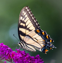 Battered Eastern Tiger Swallowtail (tresed47) Tags: 2016 201607jul 20160731homemacro butterflies canon7d chestercounty content easterntigerswallowtail folder home insects pennsylvania peterscamera petersphotos places swallowtail takenby us ngc npc