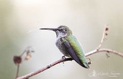 097A5699_edit_resized_wm (Lisa Snow Photography) Tags: hummingbird annas