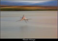 The fly (Daniele Marongiu) Tags: fenicottero volo laguna mosso astratto quadro colori molentargius cagliari sardegna flamingo flight lagoon blur abstract painting colors sardinia