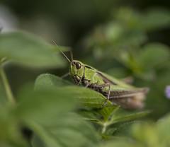 _DSC2649 (Windbe) Tags: grasshopper grashpfer insekt insect natur nature wiese heuschrecke garten garden pflanze gras makro macro