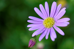 Water Drops (Jakub Socha) Tags: waterdrops water drops nikon flower purple green garden spring light sunafterstorm tamron tamron60mmf2 tamron60mmf20 nikond7000 d7000
