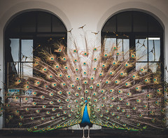 (Kevin Chon) Tags: peacock bird cute colorful contrast colors city animals art eyes white retrato yellow symmetry urban luz sun light lines portrait pet love green shadow sp azul architecture verde beautiful brasil nature natureza