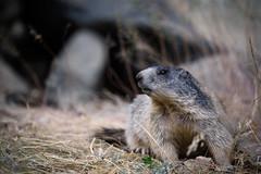 _DSC6307.jpg (Pixelkeeper) Tags: wildlife murmeltier