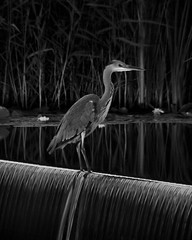 260/365: Grey heron, dusk (Kelvin P. Coleman) Tags: canon powershot nottingham animal bird aquaticbird waterfowl heron nature artificial lake waterfall dusk bluehour twilight water 365 grey outdoor evening longexposure bw noiretblanc schwarzweiss blancoynegro reflection gray