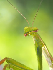 Alien ... (quarzonero ...Aldo A...) Tags: mantide prayingmantis mantis nature macro closeup coth coth5