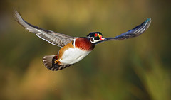 Wood Duck (Aix sponsa) (timjhopwood) Tags: woodduck inflight flying drake inglewood aixsponsa
