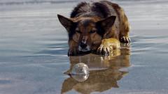 _MG_8753 (FyOxS) Tags: perro perrita perra animal canon t3i mar playa arena juegue juguetona 75300mm 75mm adobe lr aprendiendo laraquete dog mejoramigo amigo