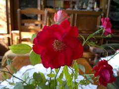 2016-09-27-7077 (vale 83) Tags: rose nokia n8 colourartaward macrodreams